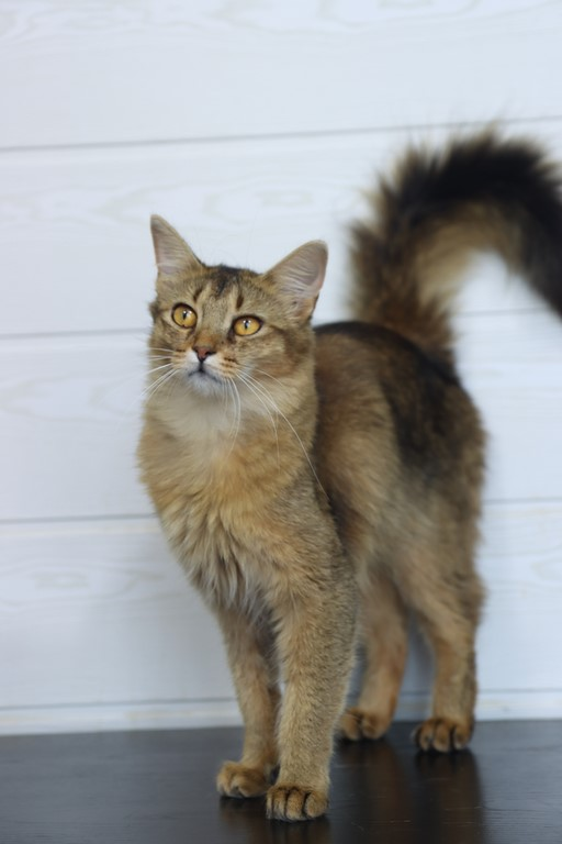 somali lièvre brown ticked tabby