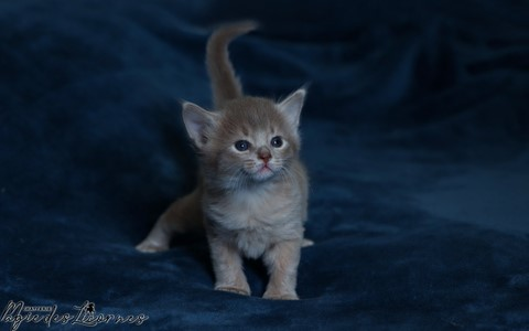 chaton somali abyssin